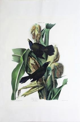 Audubon Aquatint, Purple Grackle