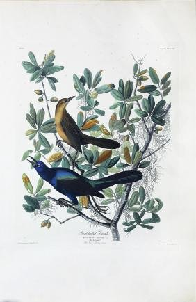 Audubon Aquatint, Boat-Tailed Grackle