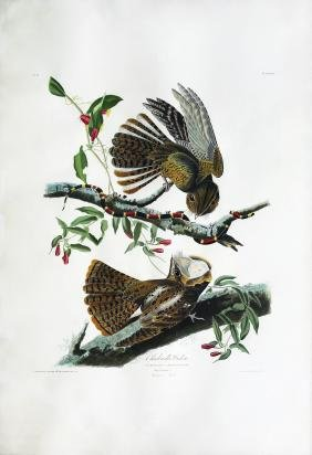 Audubon Aquatint, Chuck Will's Widow