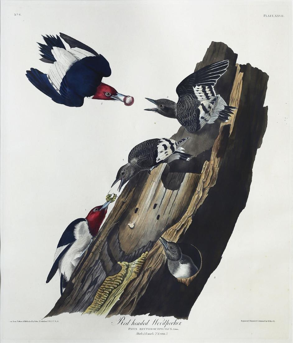 Audubon Aquatint, Red Headed Woodpecker