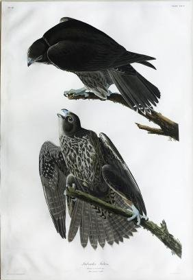 Audubon Aquatint, Labrador Falcon