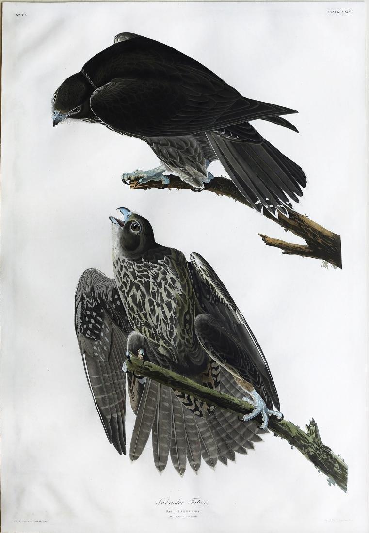 Audubon Aquatint, Labrador Falcon