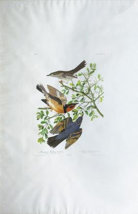Audubon Aquatint, Mountain Mockingbird