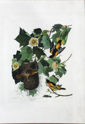 Audubon Aquatint, Baltimore Oriole
