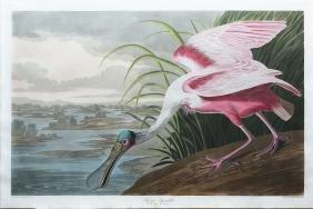 Audubon Aquatint, Rosate Spoonbill