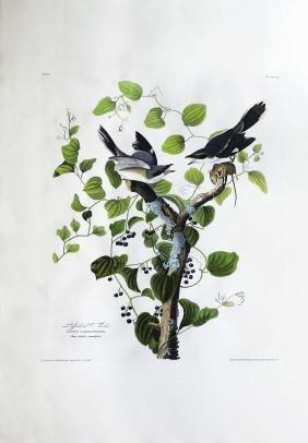 Audubon Aquatint, Loggerhead Shrike