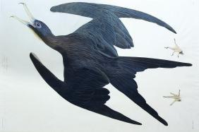 Audubon Aquatint, Frigate Pelican
