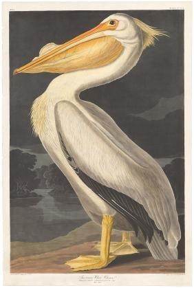 Audubon Aquatint, American White Pelican