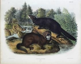 Audubon Imperial Folio Quadruped, Mink