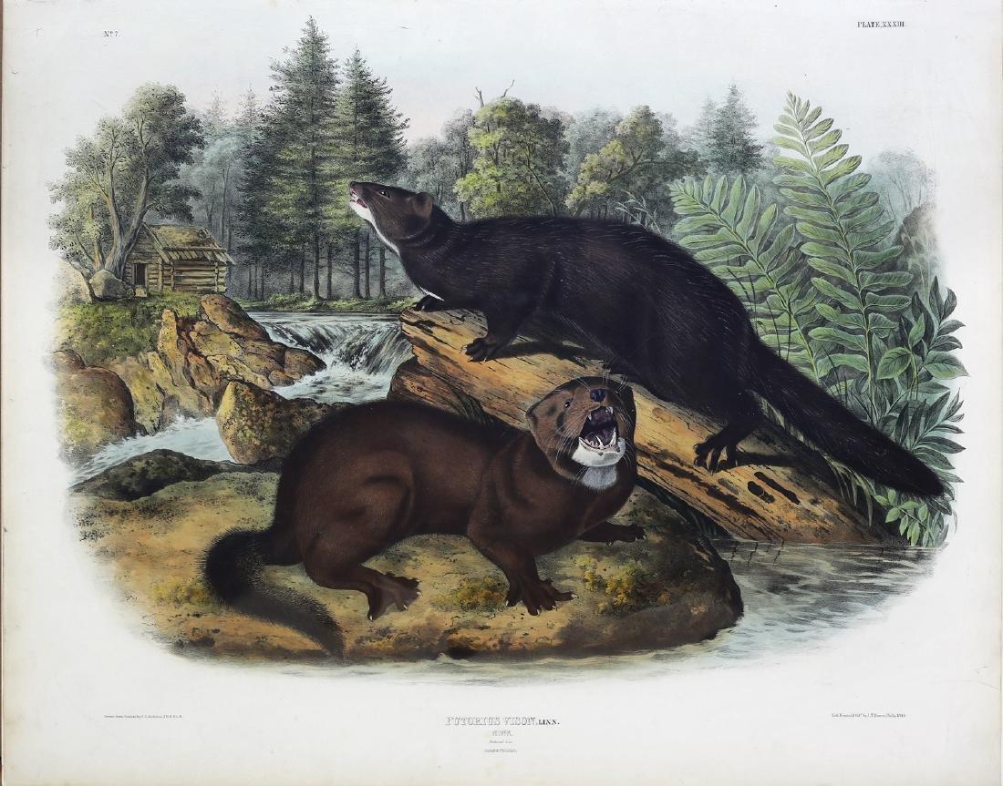 Audubon Imperial Folio Quadruped, Mink