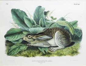 Audubon Imperial Folio Quadruped, Black Tailed Hare