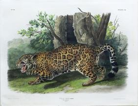 Audubon Imperial Folio Quadruped,  Jaguar