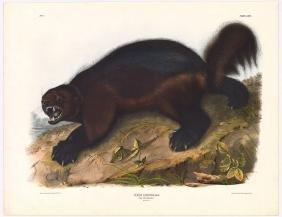 Audubon Imperial Folio Quadruped,  Wolverine