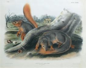 Audubon Imperial Folio Quadruped, Say's Squirrel