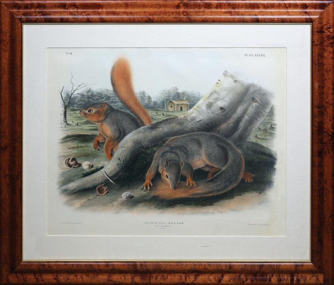 Audubon Imperial Folio Quadruped, Say's Squirrel - 2
