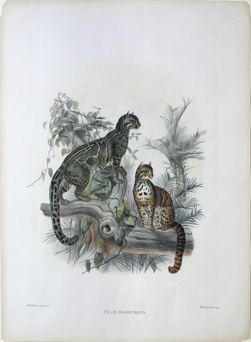 Joseph Wolf Lithograph of Cats