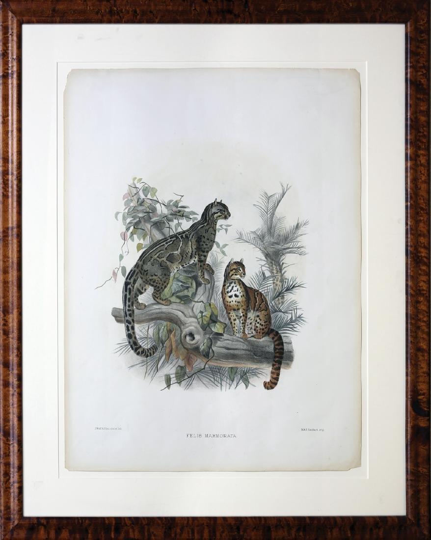 Joseph Wolf Lithograph of Cats - 2