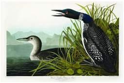 Audubon Aquatint Engraving, Great Northern Diver or