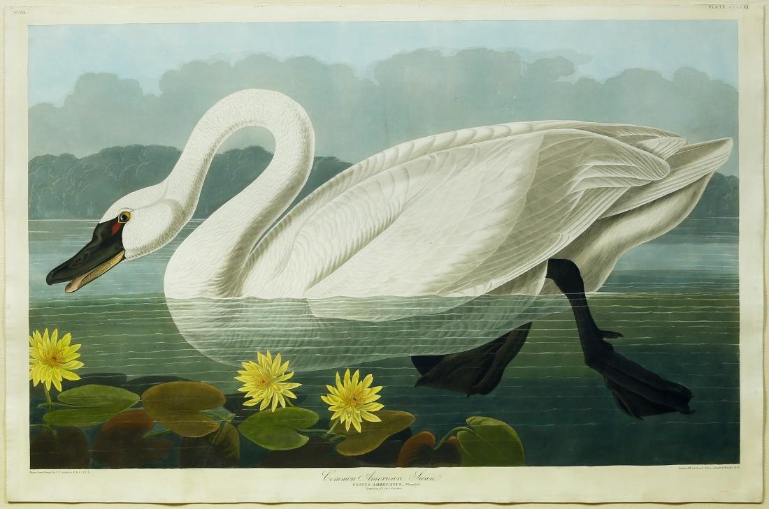 Audubon Aquatint Engraving, Common American Swan