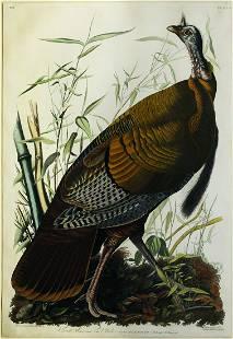 Audubon Aquatint Engraving, Male Turkey