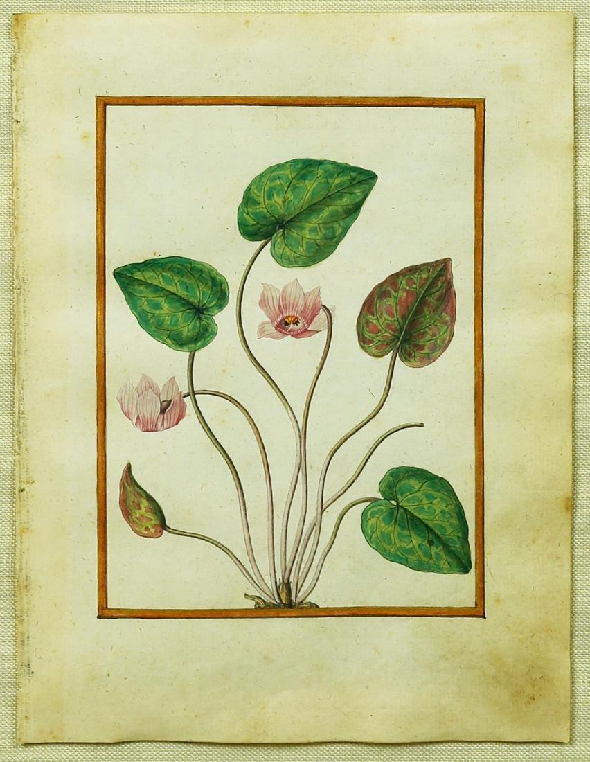 Le Moyne Watercolor, f.14: Cyclamen