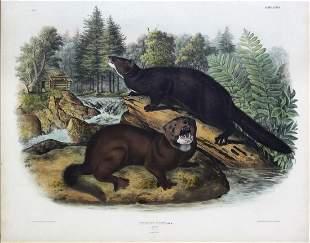 Audubon Imperial Lithograph, Mink
