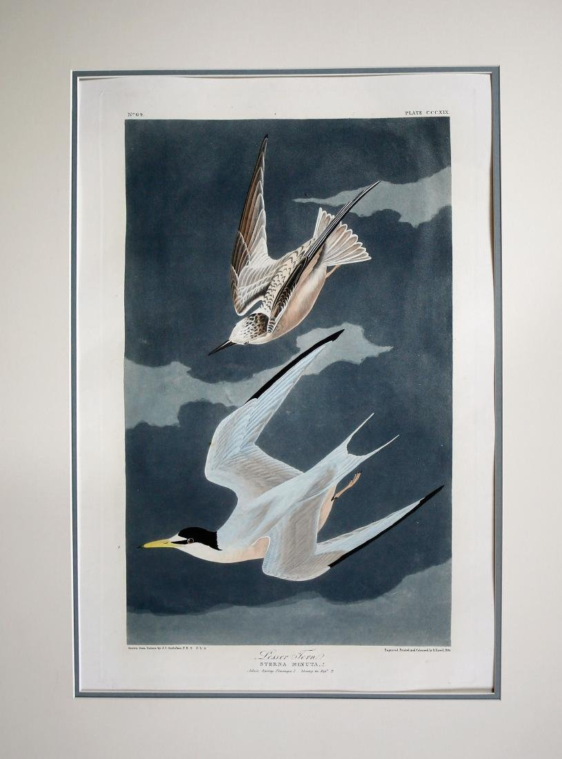 Audubon Aquatint Engraving, Lesser Tern, Plate 319