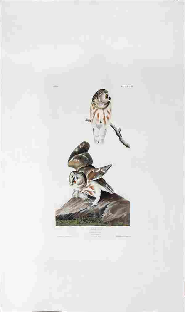 Audubon Engraving, Little Owl