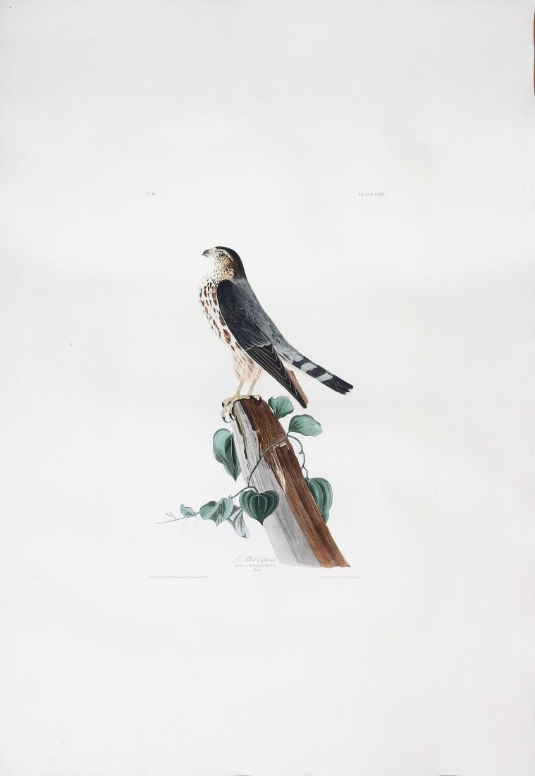 Audubon Engraving, Le Petit Caporal