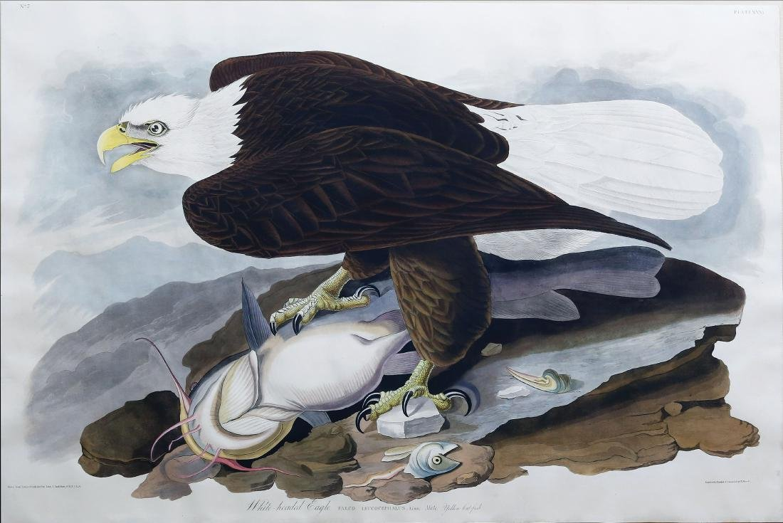 Audubon Engraving, White-headed Eagle