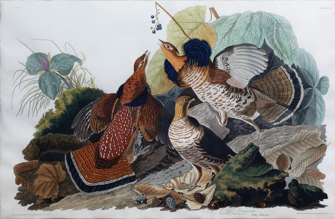 Audubon Engraving, Ruffed Grouse