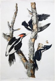 Audubon Engraving, Ivory-Billed Woodpecker