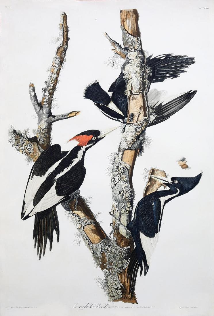 Audubon Engraving, Ivory-Billed Woodpecker
