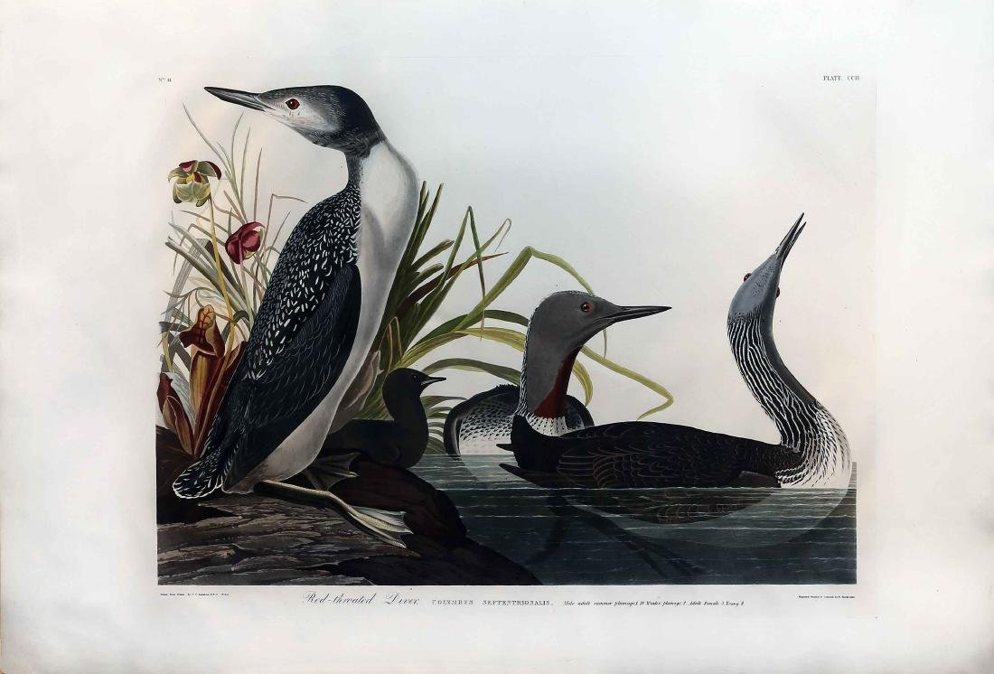 Audubon Engraving, Red-Throated Diver