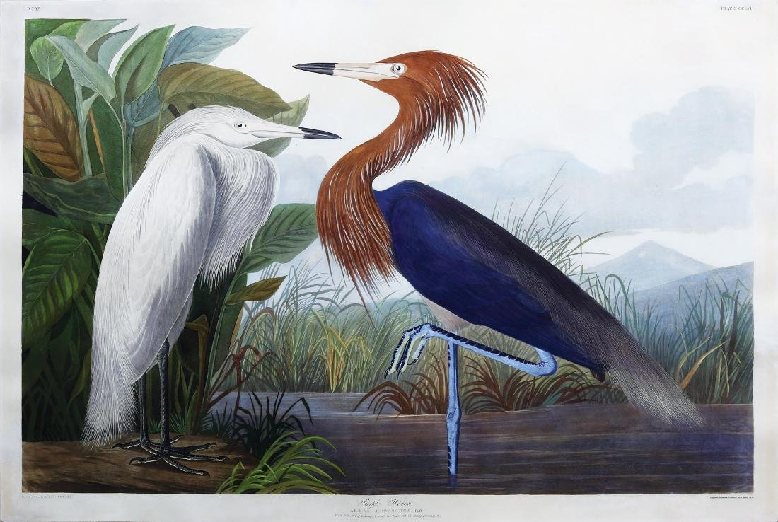 Audubon Engraving, Purple Heron