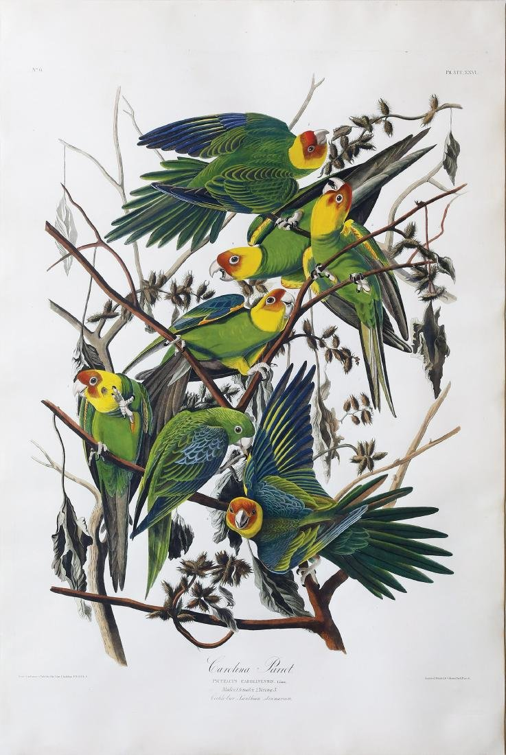 Audubon Engraving, Carolina Parrot