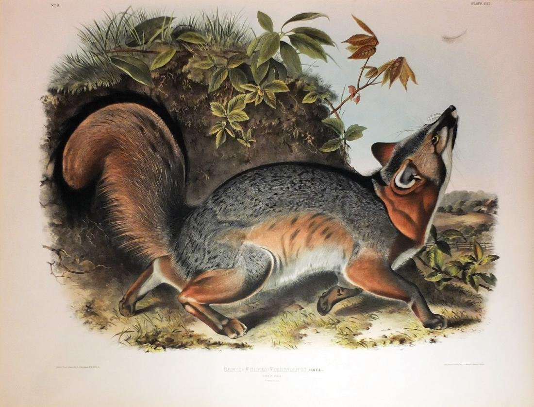 Audubon Lithograph, Grey Fox