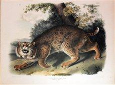 Audubon Lithograph, Common American Wildcat