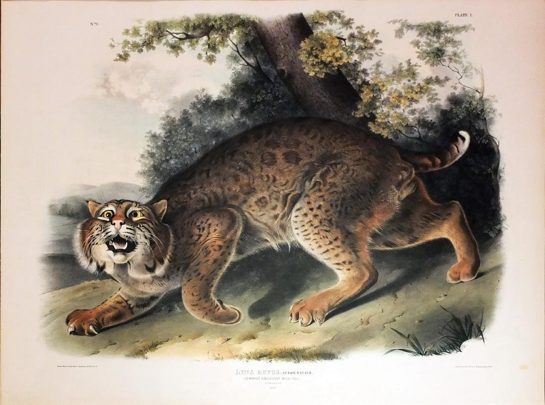 Audubon Lithograph, Common American Wildcat