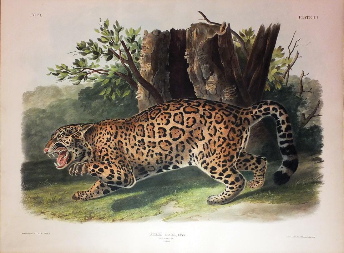 Audubon Lithograph, Jaguar