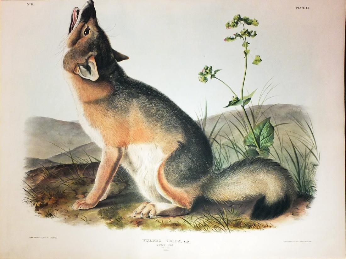 Audubon Lithograph, Swift Fox