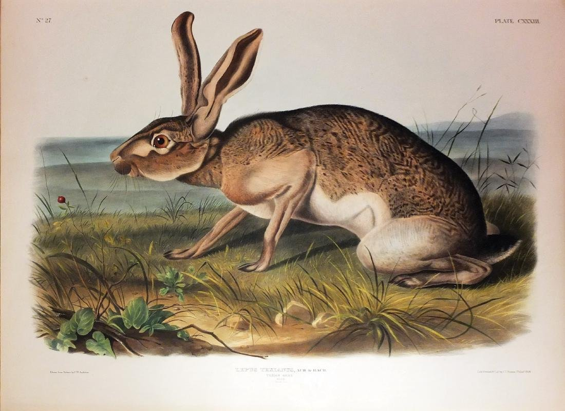 Audubon Lithograph, Texan Hare