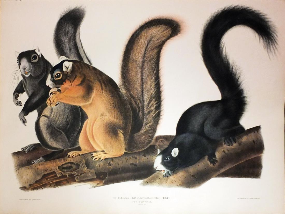 Audubon Lithograph, Fox Squirrel