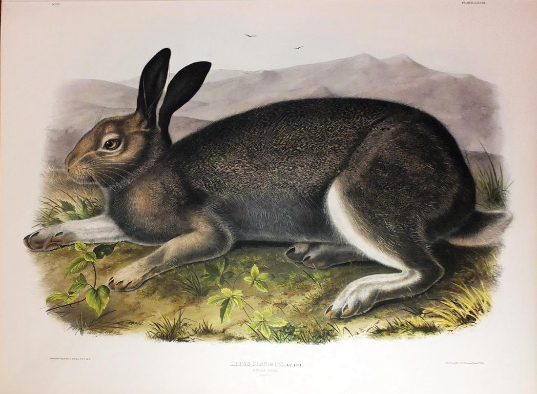 Audubon Lithograph, Polar Hare