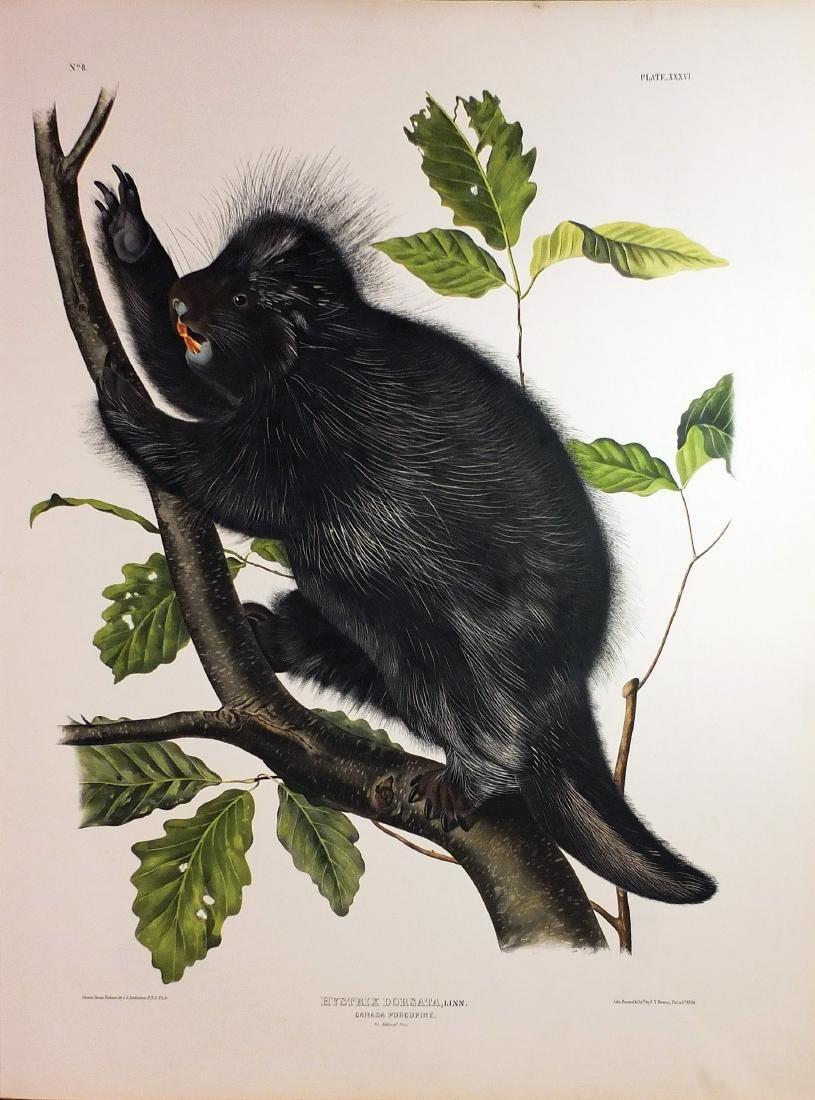 Audubon Lithograph, Canada Porcupine