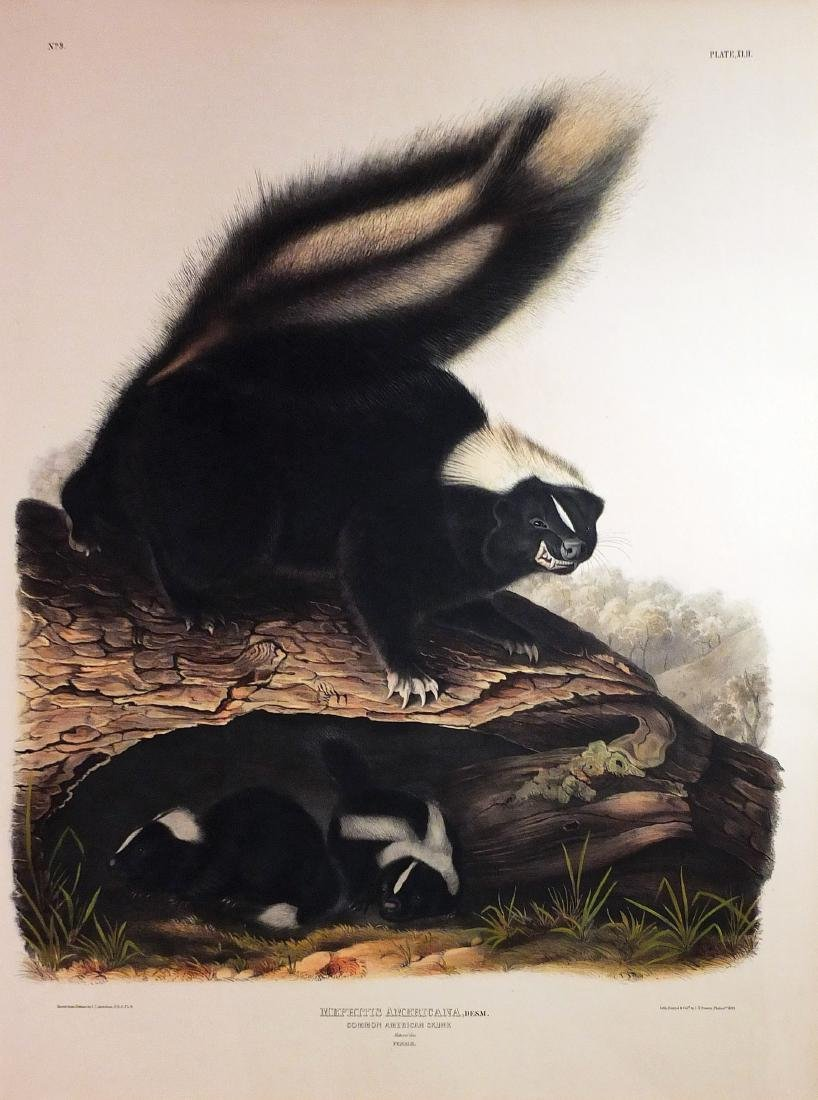 Audubon Lithograph, Common American Skunk