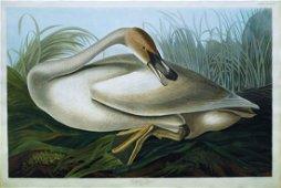 Audubon Aquatint, Trumpeter Swan (Young)