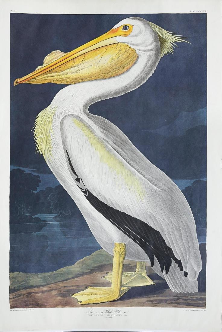 Audubon Amsterdam, White Pelican