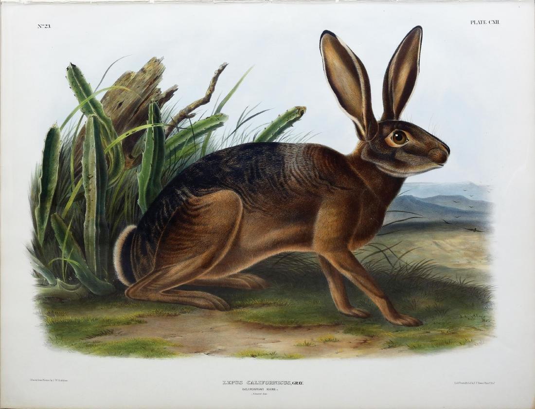 Audubon Quadruped, California Hare