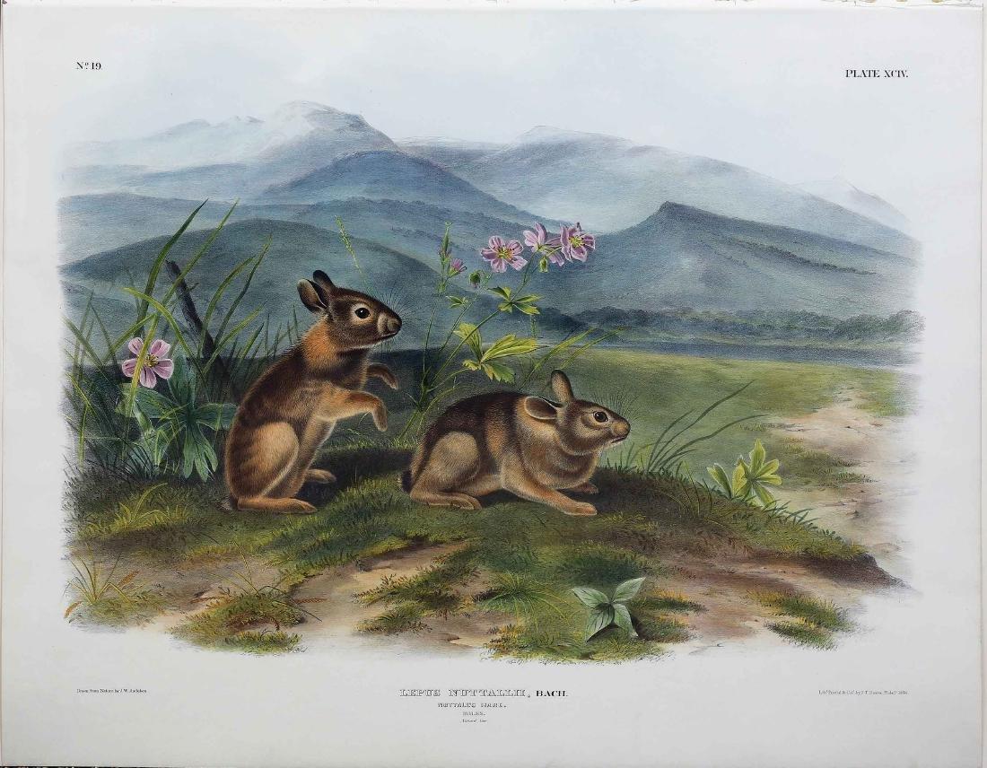 Audubon Quadruped, Nuttal's Hare